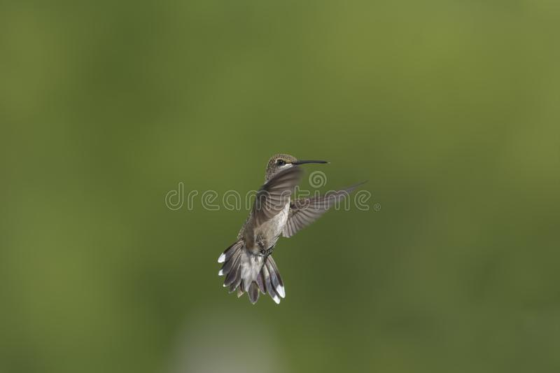 Hummingbird Hovering Just Out of Reach stock photography
