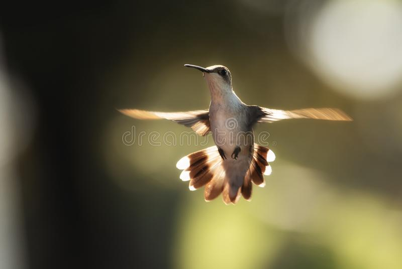 Hummingbird hovering in morning light. Back lit by sun stock image