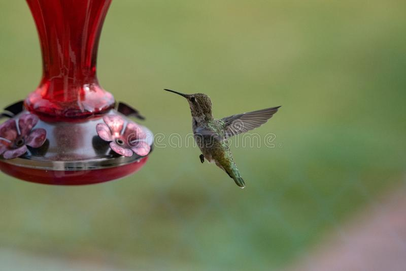 Hummingbird hovering near a feeder. A female Ruby Throated hummingbird hovering near a feeder stock photos