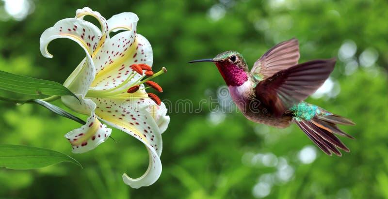 Hummingbird hovering next to lily flowers panoramic view. Hummingbird (archilochus colubris) hovering next to lily flowers panoramic view royalty free stock photo
