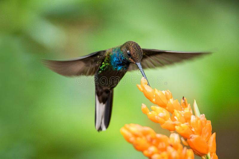 Hummingbird hovering next to orange flower,garden,tropical forest,Brazil, bird in flight with outstretched wings. Flying hummingbird sucking nectar from blossom stock photos