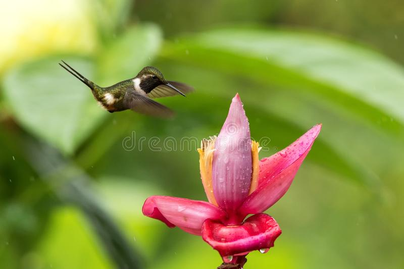 Hummingbird hovering next to pink and yellow flower, garden,tropical forest, Colombia, bird in flight with outstretched wings. Flying hummingbird sucking nectar royalty free stock photography