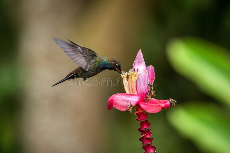 Hummingbird hovering next to pink and yellow flower, garden,tropical forest, Colombia, bird in flight with outstretched wings. Flying hummingbird sucking nectar stock photos