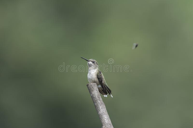 Hummingbird hungrily ogląda przelotnego housefly fotografia stock