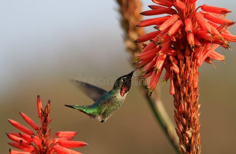 Hummingbird i aloesu kwiaty obraz stock