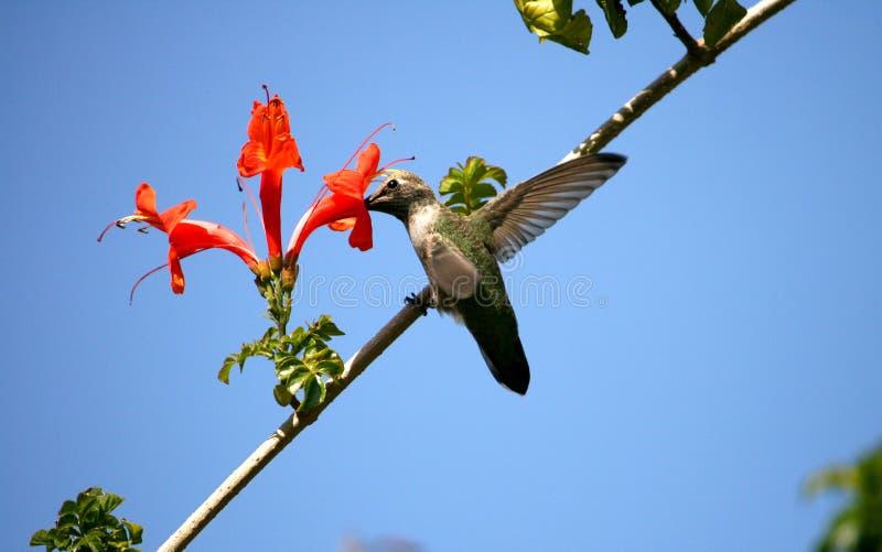Hummingbird i Banksja zdjęcia stock