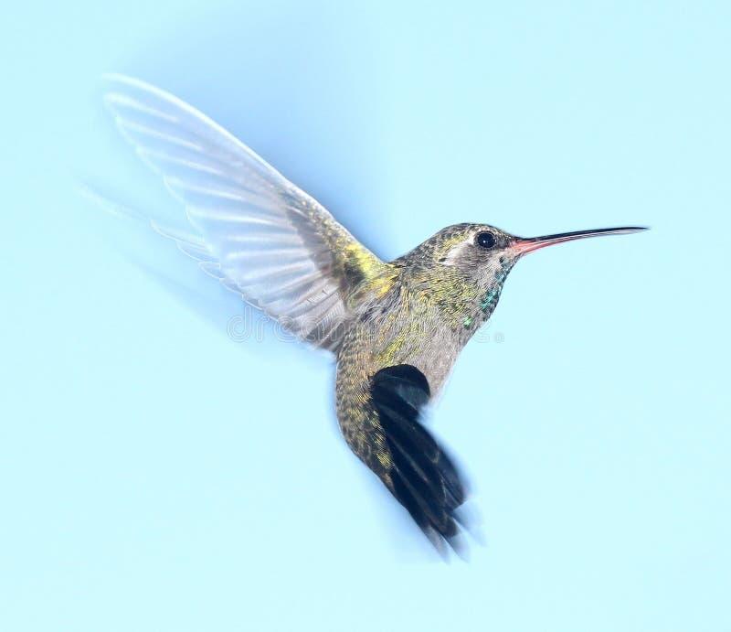 Hummingbird i flyg arkivfoto