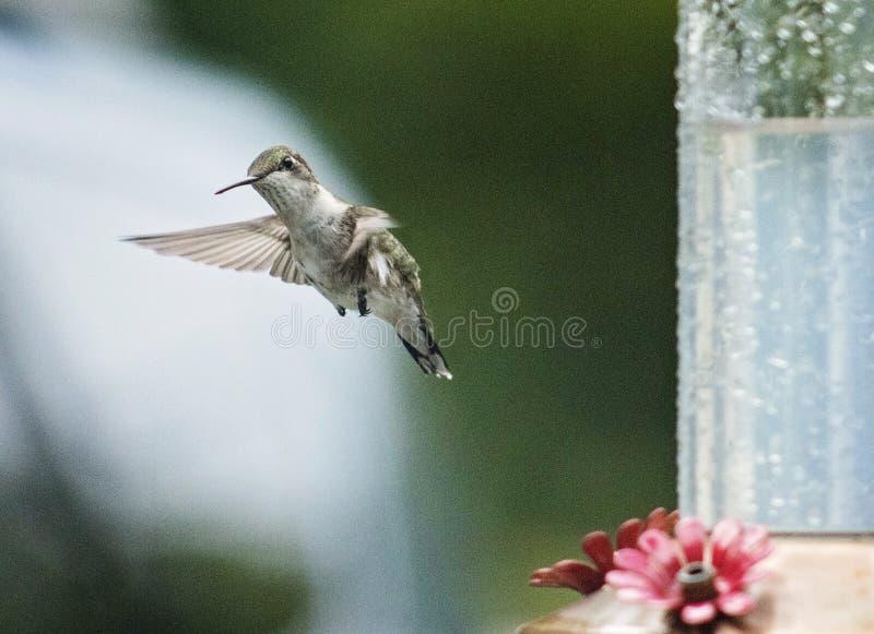Hummingbird i flyg fotografering för bildbyråer