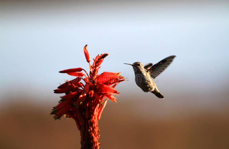 Hummingbird i kwiat zdjęcia stock