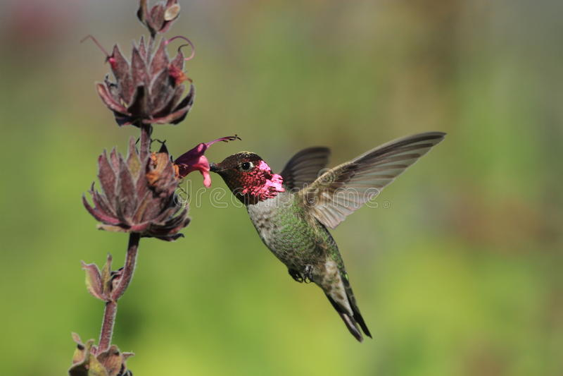 Hummingbird i roślina obraz royalty free