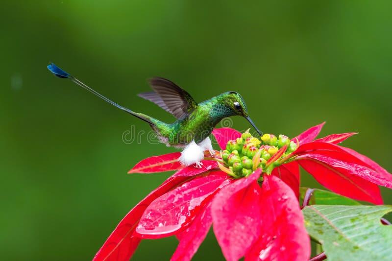 Hummingbird jest unoszący się nektar od pięknego kwiatu i pijący fotografia royalty free