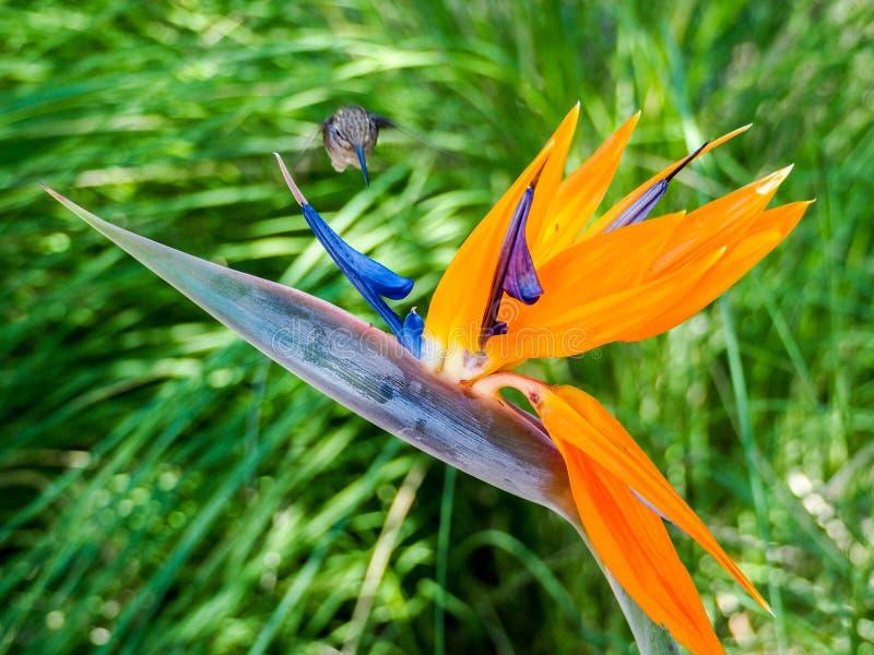 Hummingbird karmi na nektarze od ptaka raju kwiat zdjęcie royalty free