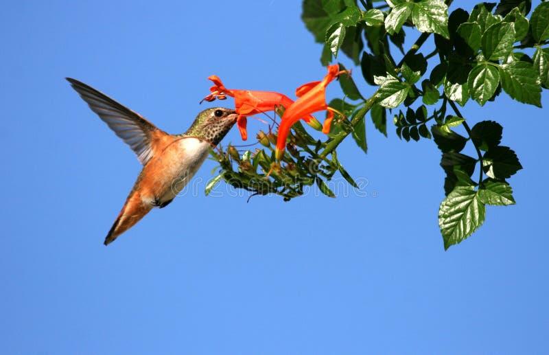 Hummingbird karmienie obraz stock