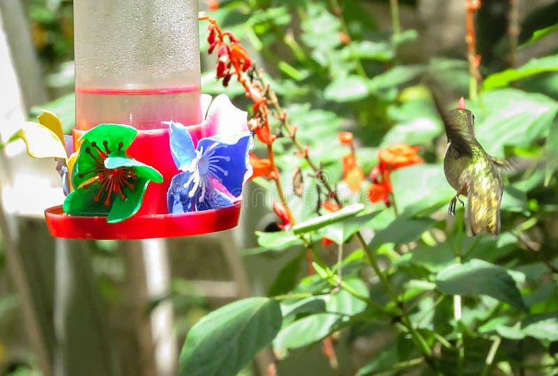 Hummingbird karmienie na Cukrowej wody dozowniku obrazy royalty free
