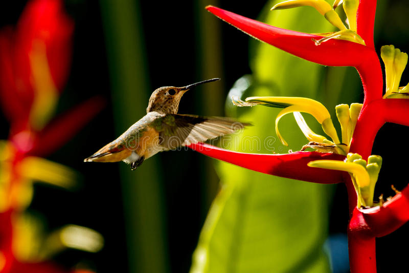 Hummingbird karmienie Na Heliconia zdjęcie royalty free