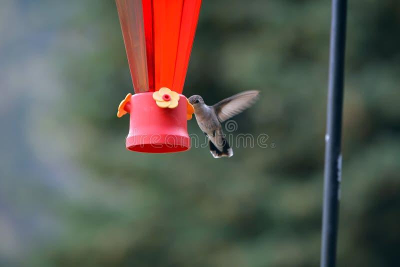 Hummingbird karmienie od dozownika obraz royalty free