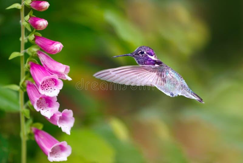 Hummingbird karmienie od purpurowych naparstnica kwiatów zdjęcia royalty free
