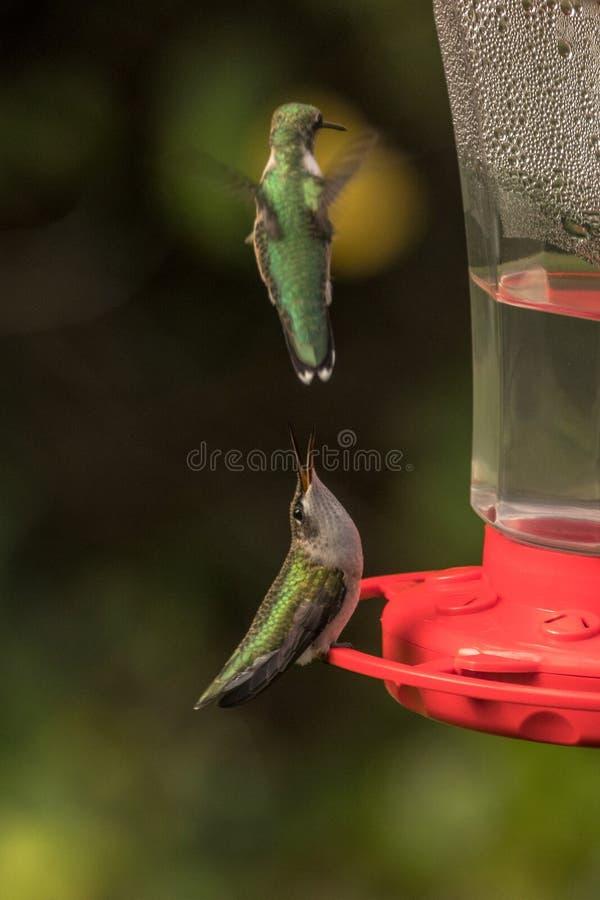 Hummingbird kotelni taniec fotografia stock