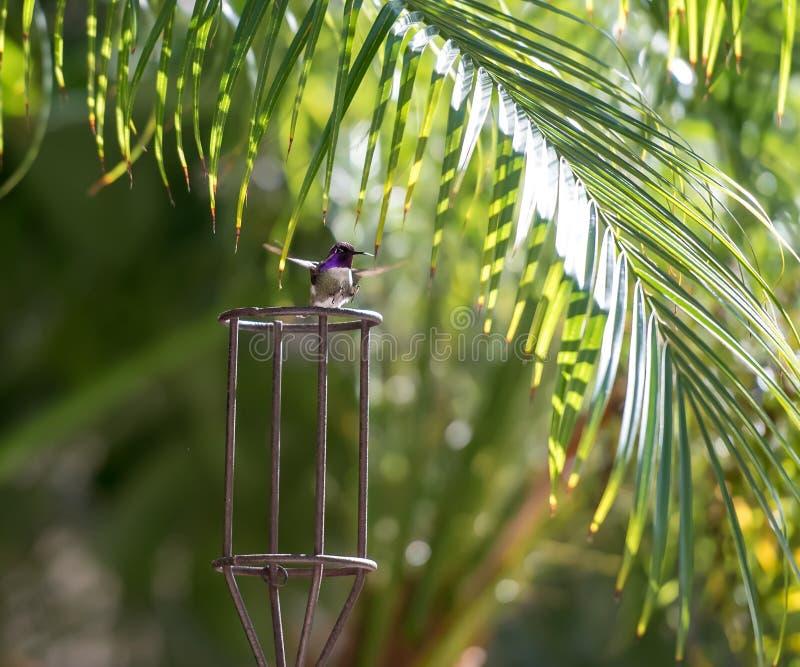 Hummingbird lądowanie z ciekami wskazuje out obrazy stock