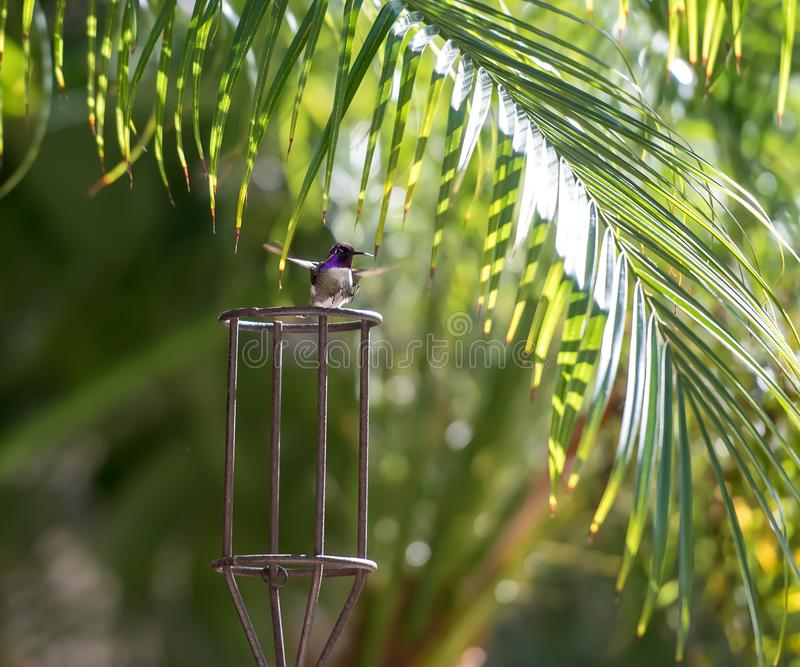 Hummingbird Landing with Feet pointing out stock images