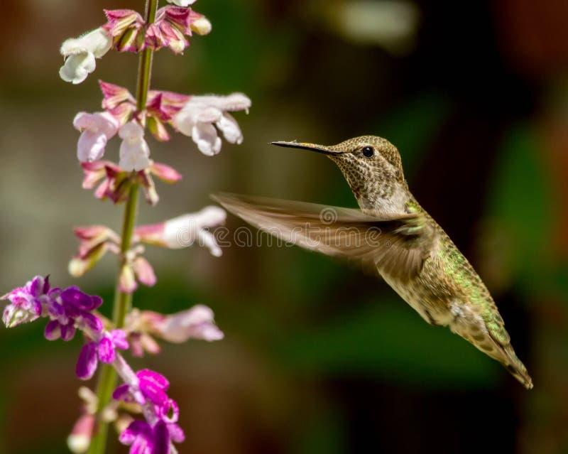 Hummingbird latanie Z kwiatami zdjęcie royalty free