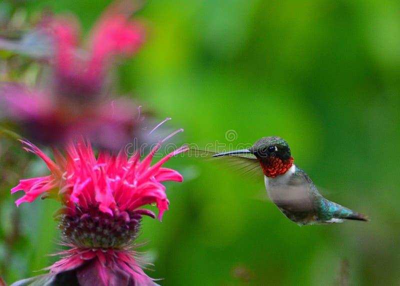 Hummingbird at monarda stock photography