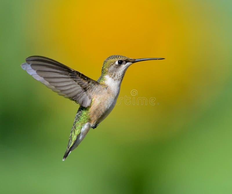 Hummingbird mot en solros arkivfoton