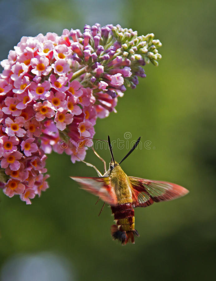Hummingbird Moth stock photo