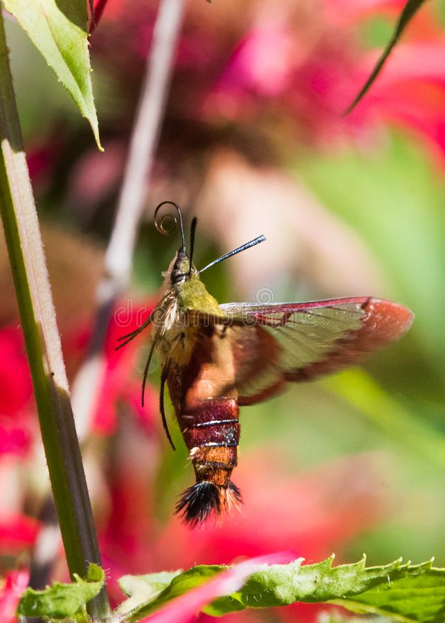 Hummingbird Moth. A clearwing Hummingbird moth collecting nectar from bee balm royalty free stock image
