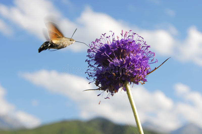 Hummingbird moth feeding on nectar from a flower royalty free stock photos