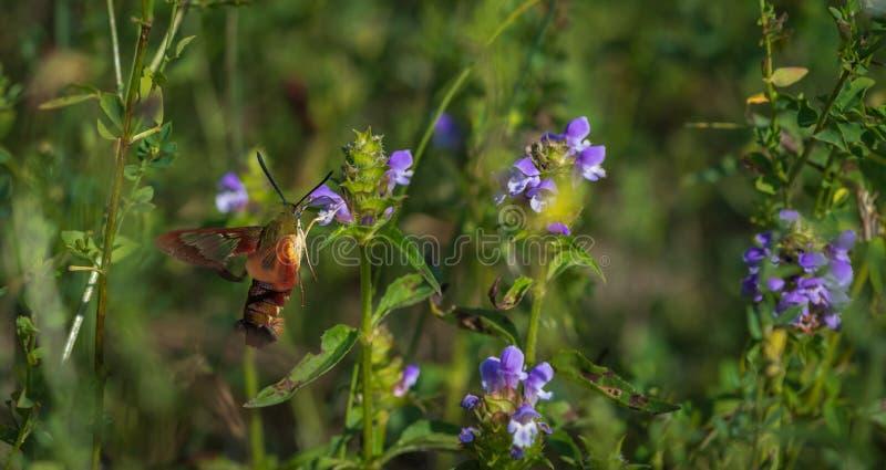 Hummingbird moth hunting for nector. 1 royalty free stock photos