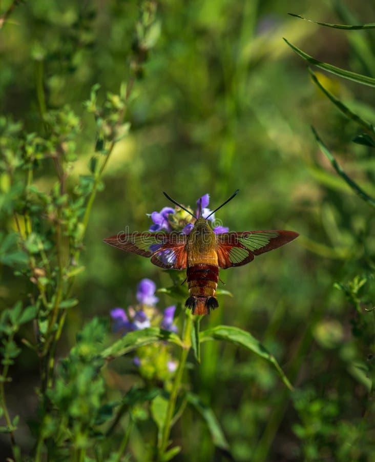 Hummingbird moth hunting for nector. 1 stock photography