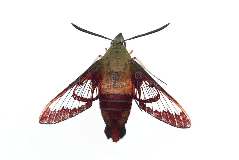 Download Hummingbird Moth - Isolated Stock Photo - Image: 14970766