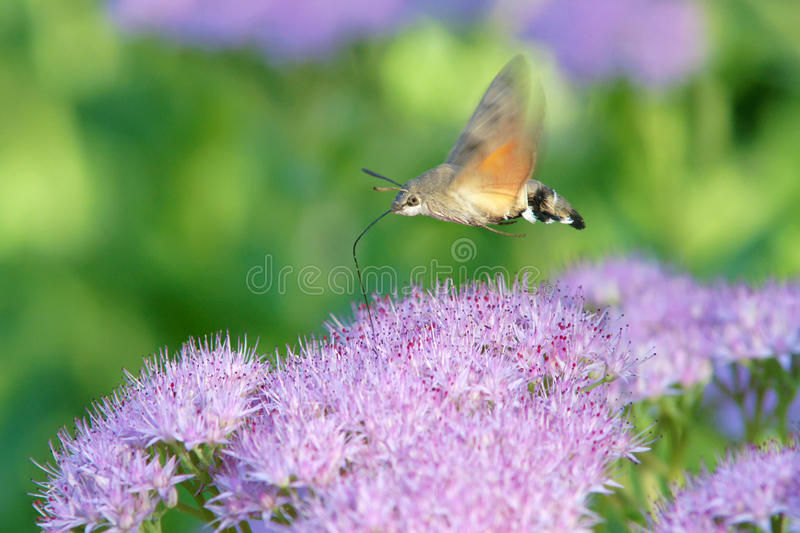 Hummingbird moth. The hummingbird moth is sucking nectar of Sedum spectabile flowers. Scientific name: Macroglossum stellatar royalty free stock photo