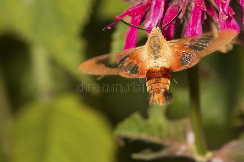 Hummingbird moth visiting a red bergamot flower in Connecticut stock photography