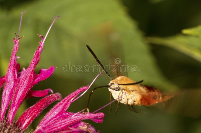 Hummingbird moth visiting a red bergamot flower in Connecticut royalty free stock photography