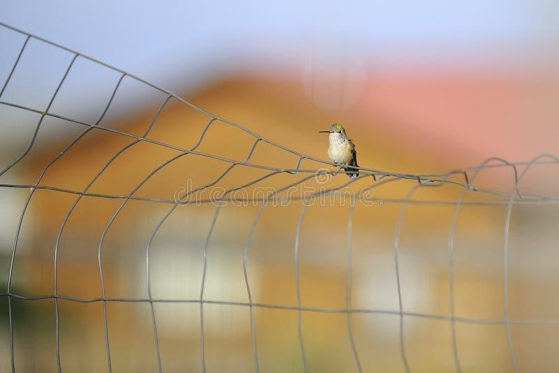 Hummingbird na drucie obraz royalty free