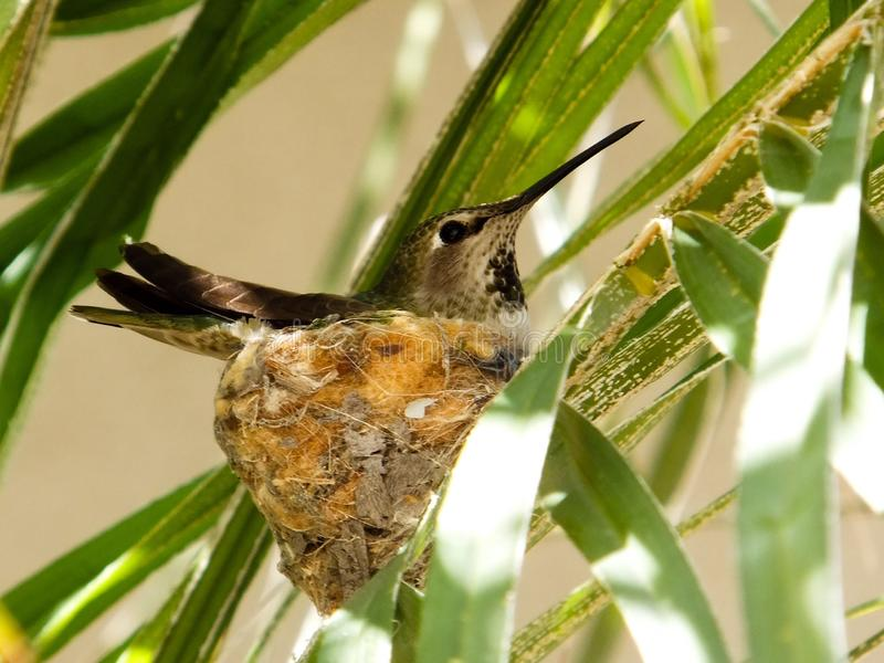 Hummingbird and nest royalty free stock images