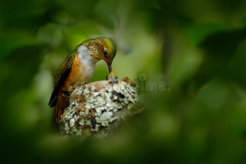 Hummingbird nest with young. Adult hummingbird feeding two chicks in the nest. Scintillant Hummingbird, Selasphorus scintilla stock photography