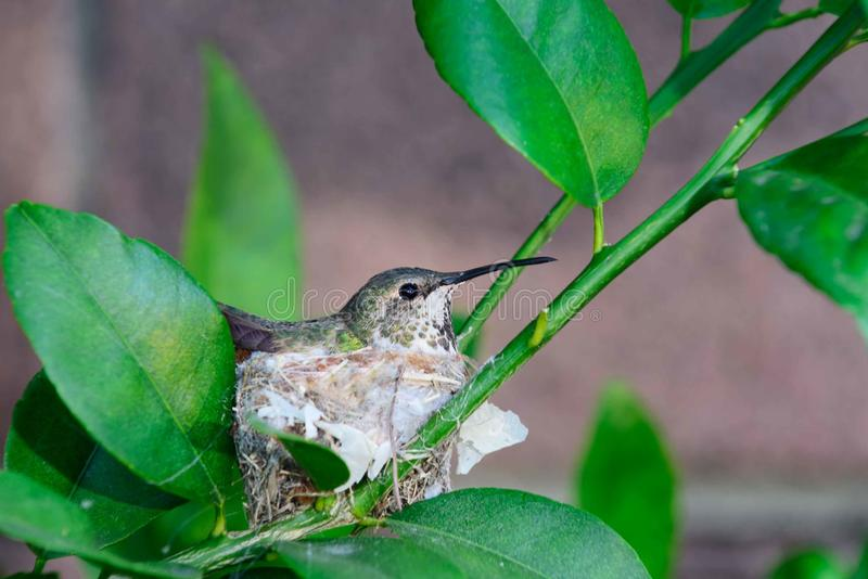 Hummingbird nesting. On eggs. They build a cup shaped nest on a branch of a tree royalty free stock photo