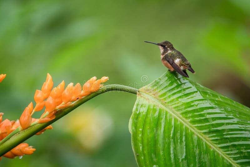 Hummingbird obsiadanie na urlopu pomarańczowym kwiacie, tropikalny las, Ekwador, ptak ssa nektar od okwitnięcia w ogródzie, ptasi fotografia stock