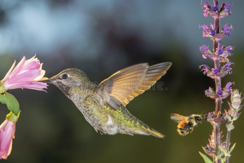 Hummingbird och humlor besöker blommor arkivbilder