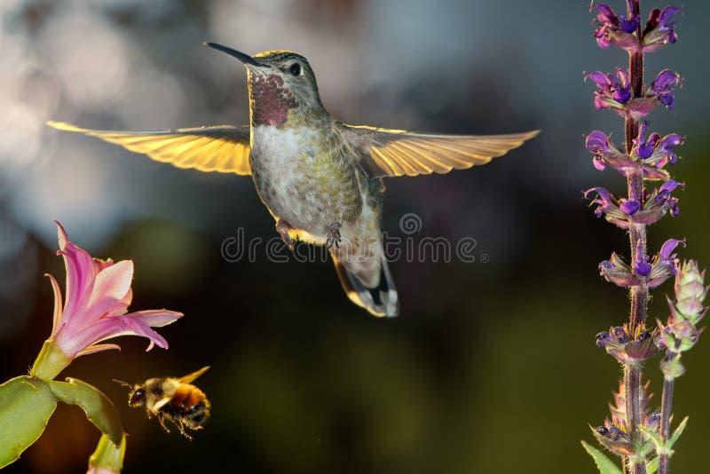 Hummingbird och humlor som hovrar runt blommor arkivfoton