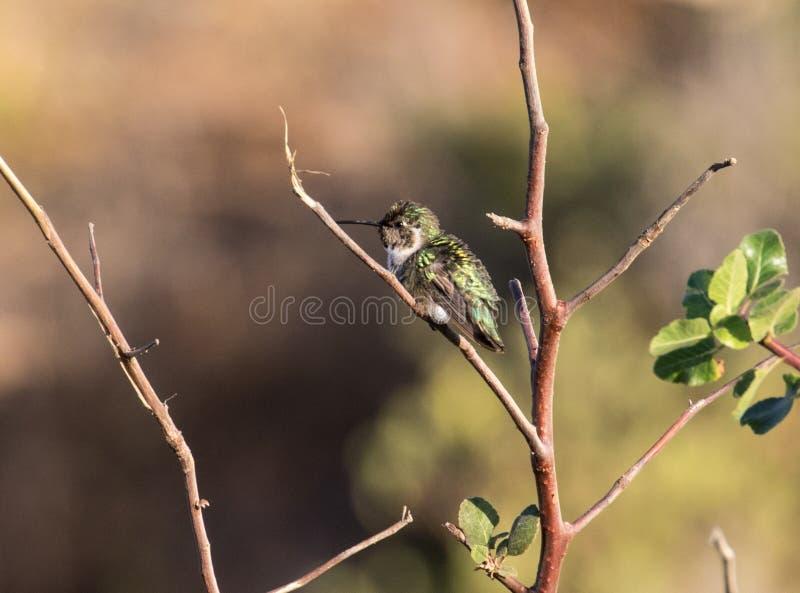 Hummingbird Odpoczywać fotografia royalty free