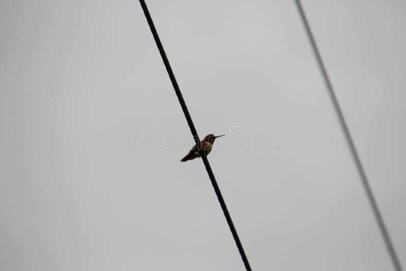 Hummingbird odpoczywa na linii energetycznej obraz royalty free