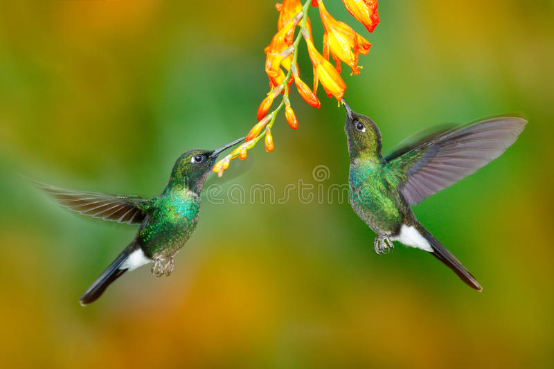 Hummingbird with orange flower. Two flying hummingbird, bird in fly. Action scene with hummingbird. Tourmaline Sunangel eating nec. Tar in bloom royalty free stock photography