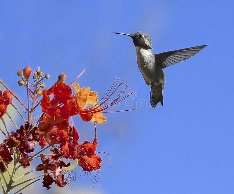 Hummingbird orange flowers flying royalty free stock image