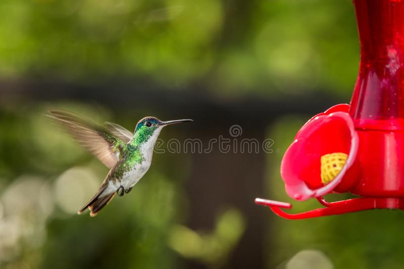 Hummingbird with outstretched wings,tropical forest,Peru,bird hovering next to red feeder with sugar water, garden. Clear background,nature scene,wildlife stock photos