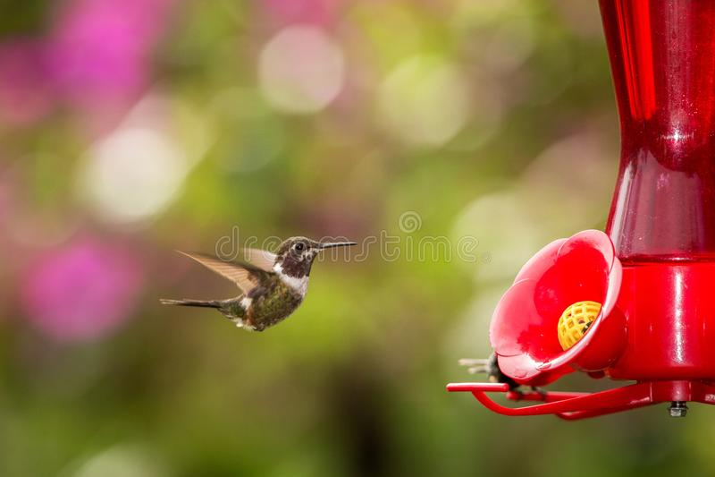 Hummingbird with outstretched wings,tropical forest,Peru,bird hovering next to red feeder with sugar water, garden. Clear background,nature scene,wildlife stock images