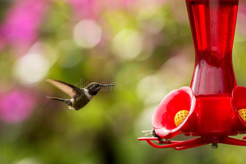 Hummingbird with outstretched wings,tropical forest,Peru,bird hovering next to red feeder with sugar water, garden. Clear background,nature scene,wildlife stock photography